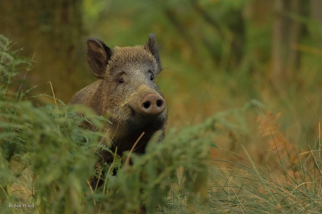 A photo of a wild boar taken by Robin Ward.