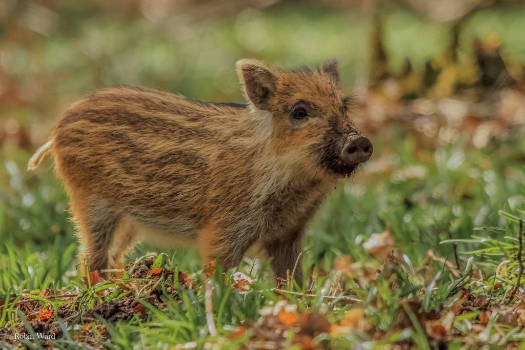 Photo of a young wild boar (c) Robin Ward